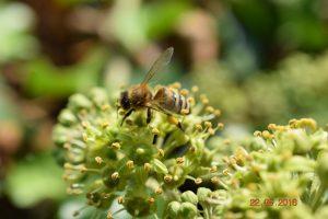 Letzte Tracht: Efeu-Blüte