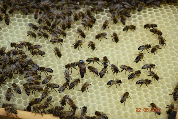 Bienen mit Königin auf frisch gebautem Wabenmaterial